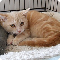 Domestic Shorthair Cat for adoption in Cincinnati, Ohio - Mugsy