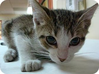 Domestic Shorthair Cat for adoption in Miami, Florida - Stan