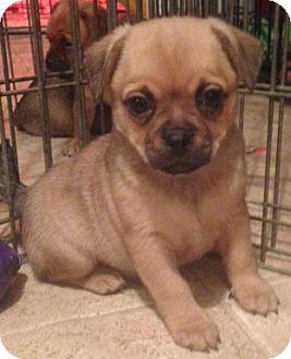 Overland Park Ks Pug Pomeranian Mix Meet Noel A Puppy