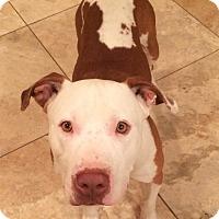 Adopt A Pet :: Sport - Surprise, AZ