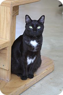 Domestic Shorthair Cat for adoption in Chicago, Illinois - MacLaren
