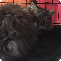 Adopt A Pet :: Pluffy - Herndon, VA