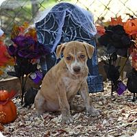 Adopt A Pet :: Les - Charlemont, MA