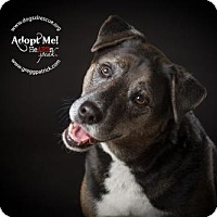 Adopt A Pet :: Theeni & Zoos - Silver Spring, MD