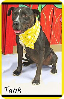 American Staffordshire Terrier Mix Dog for adoption in Hillsboro, Texas - Tank