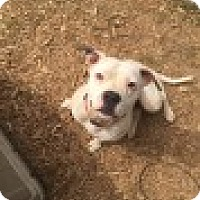 Boxer/American Pit Bull Terrier Mix Dog for adoption in Waxhaw, North Carolina - Gigi