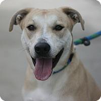 Adopt A Pet :: Luna - Canoga Park, CA