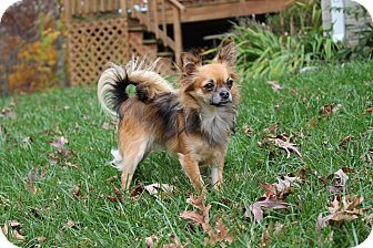 Chihuahua Mix Dog for adoption in Silver Spring, Maryland - Chance