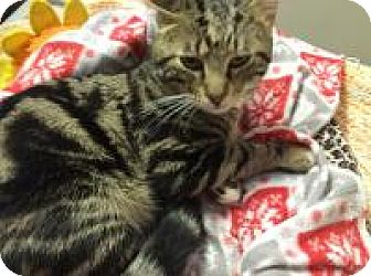American Shorthair Cat for adoption in Quilcene, Washington - Zephyr