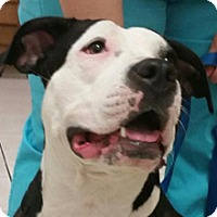 Staffordshire Bull Terrier Mix Dog for adoption in Phoenix, Arizona - Panda