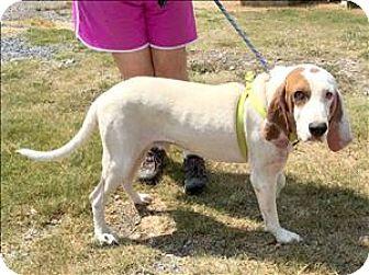 Hound (Unknown Type) Mix Dog for adoption in Cleveland, Tennessee - Garth