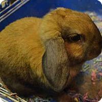 Adopt A Pet :: CINNAMON - Brooklyn, NY