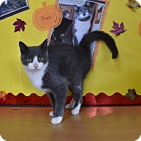 Domestic Shorthair Cat for adoption in North Judson, Indiana - Grayce