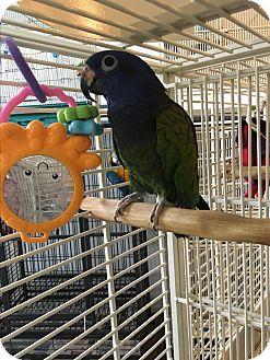Pionus for adoption in Punta Gorda, Florida - Squirt