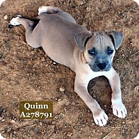 Pit Bull Terrier Mix Puppy for adoption in Conroe, Texas - QUINN