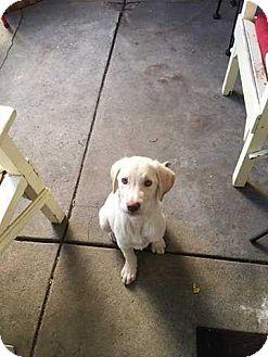Golden Retriever/Collie Mix Puppy for adoption in Coopersburg, Pennsylvania - Fritz