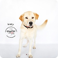 Adopt A Pet :: Brady - Sherman Oaks, CA