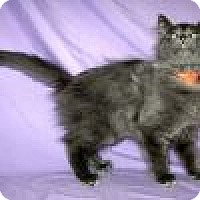 Adopt A Pet :: Pewter - Powell, OH