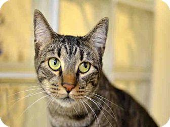 Domestic Mediumhair Cat for adoption in West Palm Beach, Florida - LANA