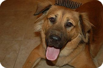 German Shepherd Dog/Golden Retriever Mix Dog for adoption in Ormond Beach, Florida - Simba