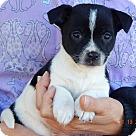 Adopt A Pet :: Duffy (3 lb) Video!
