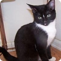 Domestic Shorthair Cat for adoption in Colorado Springs, Colorado - K-Blackberry-Minnie