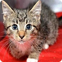 Domestic Mediumhair Kitten for adoption in West Palm Beach, Florida - LEO
