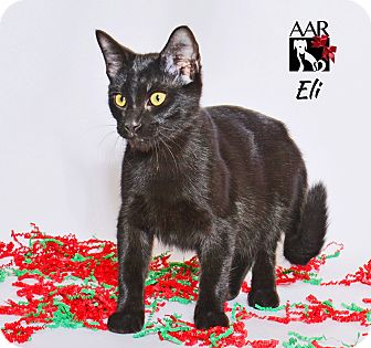 Domestic Shorthair Kitten for adoption in Tomball, Texas - Eli