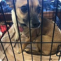Adopt A Pet :: Keely - Houston, TX