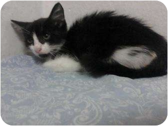 Domestic Shorthair Kitten for adoption in Lakeland, Florida - Marie