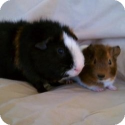 Guinea Pig for adoption in Fullerton, California - Teddy and Nugget