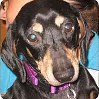 Adopt A Pet :: ZIGGY - Portland, OR