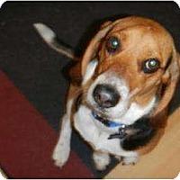 Adopt A Pet :: Henry Winkler - Phoenix, AZ