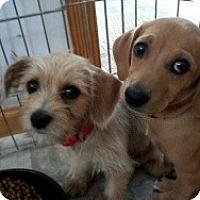 Adopt A Pet :: Weenie and littermates - Marlton, NJ