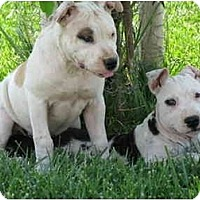 Adopt A Pet :: Gilroy Puppies - Lodi, CA