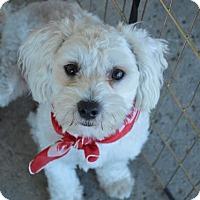 Adopt A Pet :: Duke - Redondo Beach, CA