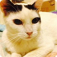 Adopt A Pet :: Beautiful Young Loving Bella - Brooklyn, NY