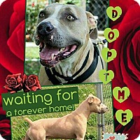 American Pit Bull Terrier/American Staffordshire Terrier Mix Dog for adoption in El Campo, Texas - Happy