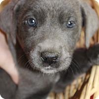 Adopt A Pet :: Scarlett - Waldorf, MD