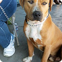 Mastiff Mix Dog for adoption in Los Banos, California - Chunky Monkey