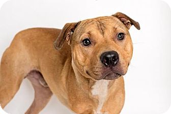 American Pit Bull Terrier Mix Dog for adoption in Sanford, North Carolina - Push Up (special needs)
