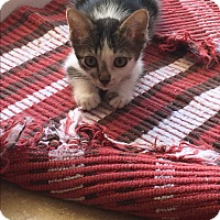 Domestic Shorthair Kitten for adoption in Palm Springs, California - Tam Tam