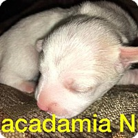 Adopt A Pet :: Sugar Cookie's puppy Macadamia Nut - Tucson, AZ