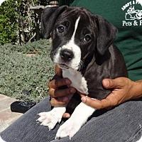 Adopt A Pet :: Curtis - Lathrop, CA