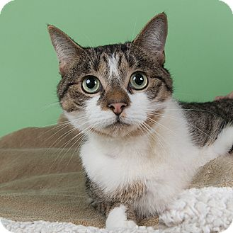 Domestic Shorthair Cat for adoption in Wilmington, Delaware - Bronx