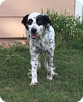 English Setter Mix Dog for adoption in Wichita, Kansas - Bree