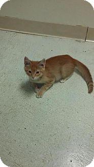 Domestic Shorthair Kitten for adoption in Maquoketa, Iowa - Flame