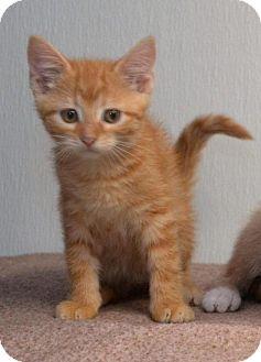 Domestic Shorthair Kitten for adoption in DuQuoin, Illinois - Neil Catrick Harris