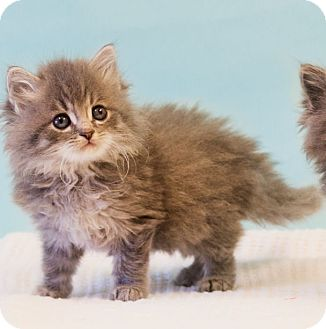 Domestic Longhair Kitten for adoption in Washburn, Wisconsin - Himalaya
