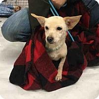 Chihuahua/Feist Mix Dog for adoption in Waynesville, North Carolina - SALLY
